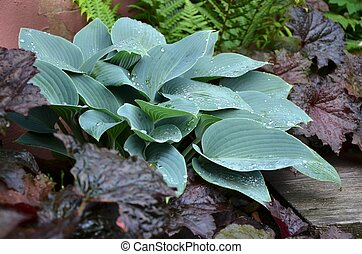 Hosta Halcyon in a garden after rain