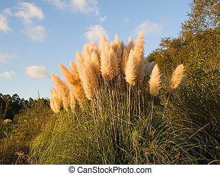 Pampas grass (Cortaderia selloana) in the afternoon with...
