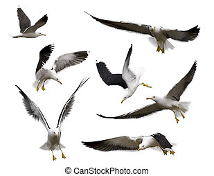 Set of seagulls - Set of sea gulls isolated on white. Poses...