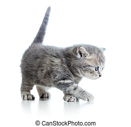 funny walking cat kitten isolated on white