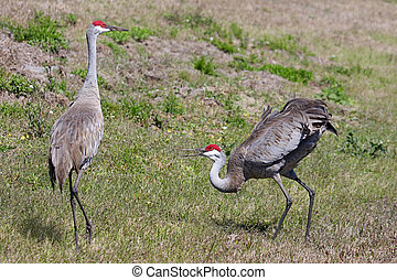 Pair Sandhill Cranes Courting - Pair of Sandhill Cranes...