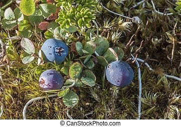 Bog blueberry - Closeup of Vaccinium uliginosum bog...