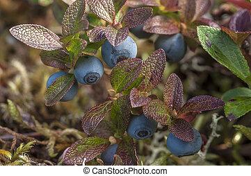 Bog blueberry - Macro closeup of Vaccinium uliginosum bog...