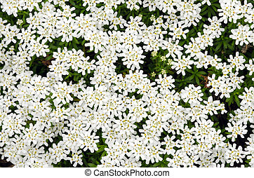 iberis taurica - Pattern of white blooming flower Candytuft...