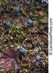 Bog blueberry - Wild Alaskan ground cover including bog...