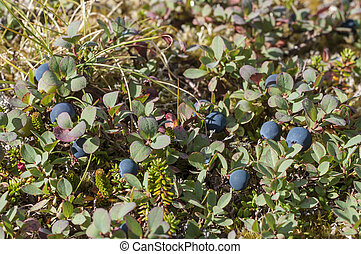 Bog blueberry - Botanical carpet of plants including...