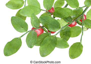 Red huckleberry - Closeup of Vaccinium parvifolium...