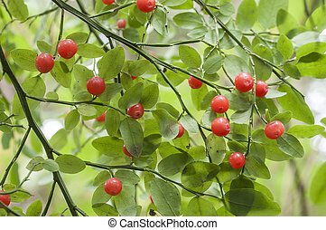 Red huckleberries - Ripe red huckleberries on Vaccinium...