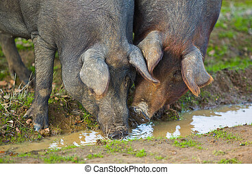 The drinking moment - Black Iberian pigs on a meadow...