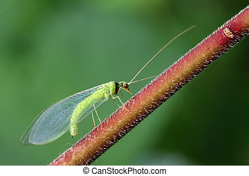lacewing flies on green leaf in the wild