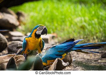 Blue-and-Yellow Macaw - Blue-and-yellow macaw[Ara ararauna]...