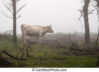 Galician cow in nature