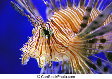 Lion fish - This is a beautiful lion fish in the sea
