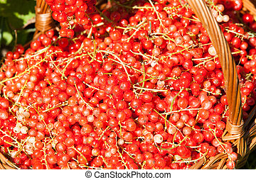 basket of red currants in the garden