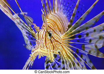 Beautiful lion fish - This is a nice lion fish in the blue...
