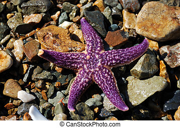 Starfish - It is a ittle starfish on the seaside