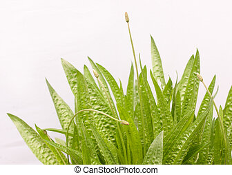Plantain on a white background