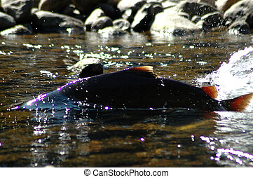 Chinook Salmon swimming upstream in the Seymour River