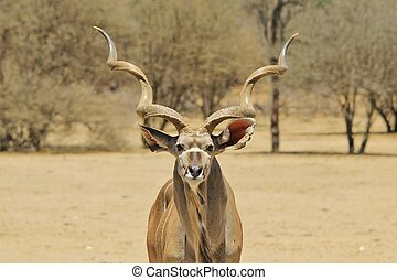Kudu - African Wildlife Background - A Greater Kudu bull, as...