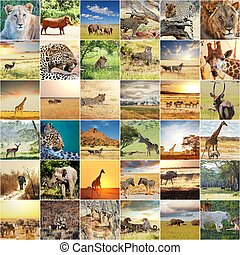 African safari - african safari collages