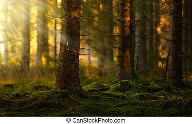 Coniferous forest in a summer morning - Old coniferous...