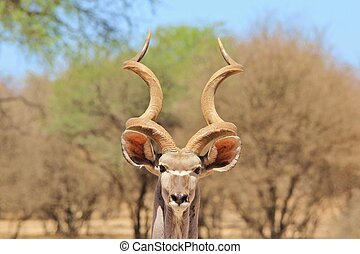 Kudu - African Wildlife Background - A Greater Kudu bull...