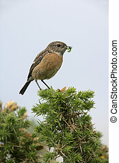 Stonechat, Saxicola torquata, single female on perch,...