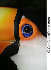 Toco toucan, Ramphastos toco, single bird head shot, Brazil