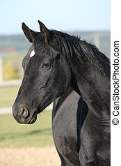 Beautiful black mare with rope halter in autumn - Portrait...