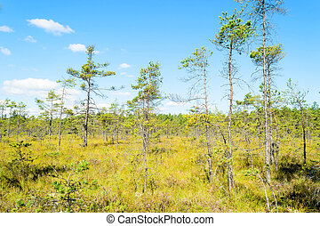 Bog - View over a bog with old but small pines Blue sky with...