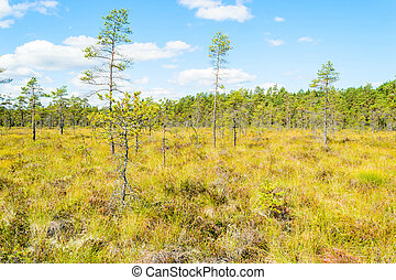Bog - View over a bog with old but small pines. Blue sky...