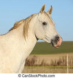 Beautiful white arabian horse in autumn - Portrait of...