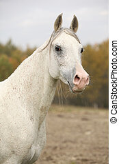 Beautiful white Arabian stallion looking in autumn