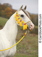 Beautiful white arabian stallion with nice show halter in...