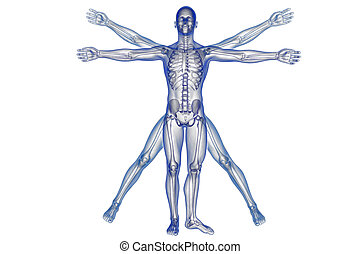 Vitruvian man with skeleton for study