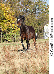 Nice brown pony running in autumn - Nice brown pony running...