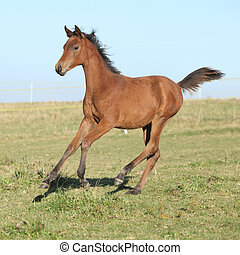 Perfect arabian horse foal running on pasturage - Perfect...