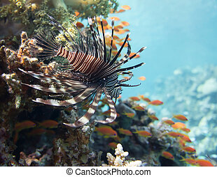 Lionfish on red sea reef background