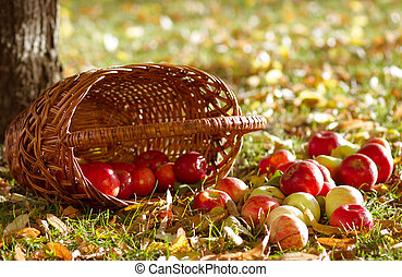 Apples with basket - Fresh ripe apples with basket