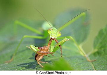 mantis perched on the leaves in the wild