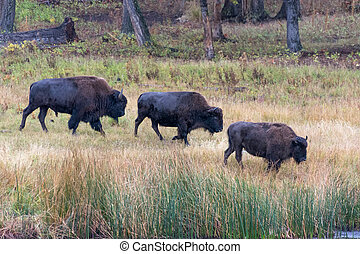 amerykanka, bizon, (Bison, bison)