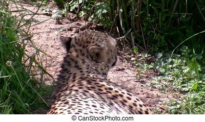 Cheetah relaxing - Adult african cheetah resting lying on...