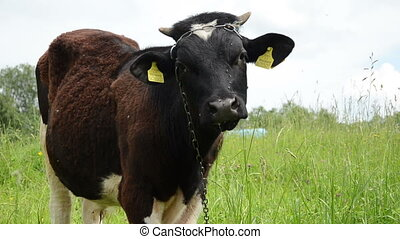 bull graze grass gadfly - closeup of mottled bull graze in...