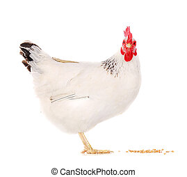 hen eating wheat - white hen eating wheat grains isolated on...