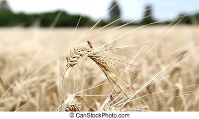 Single wheat stalk swaying - A swaying single stalk of wheat...