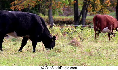 Cows grazing in the meadow - Cows happily grazing in the...