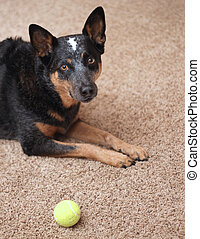 Dog wants to play - Dog on carpet with tennis ball looking...