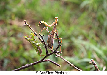 Two Praying mantis on twig in front of green background