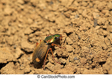ground beetle in the wild, closeup of photo