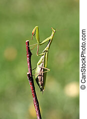 Mantis - Praying mantis on twig in front of green background...